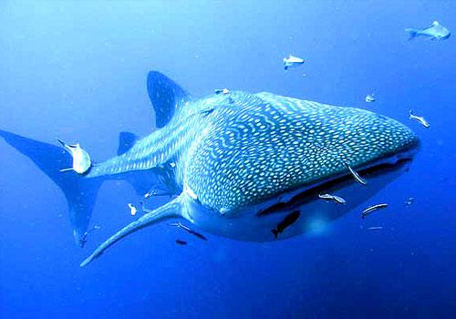 Самая большая рыба в мире.