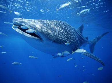 Китовые акулы предпочитают температуру воды от 21 до 25 C и...