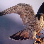 bistraya ptica